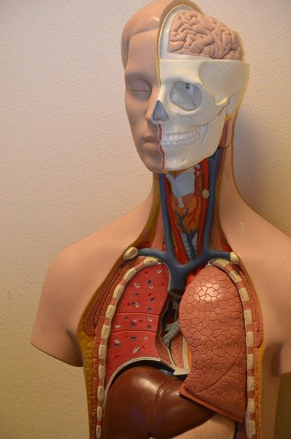 An Anatomy model of the upper abdomen, chest, neck and head. It clearly shows the position of the diaphragm, which is where hiccups occur